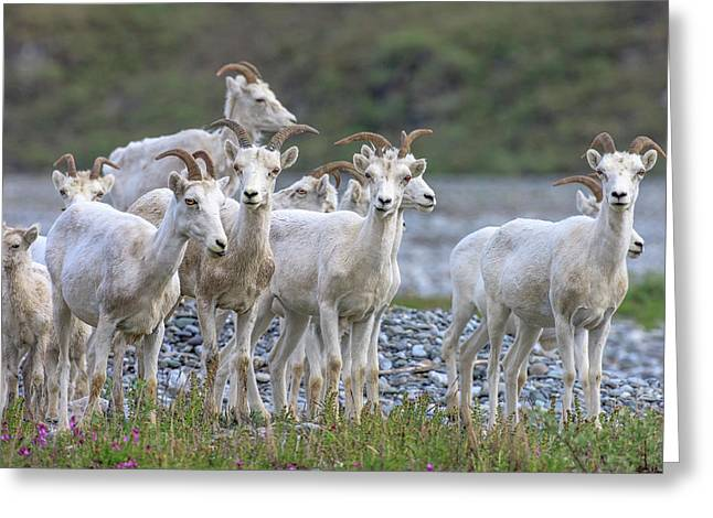 Mountain Goats Along Kongakut River Greeting Card