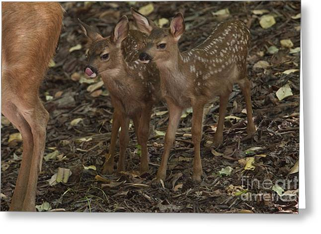 Mule Deer And Fawns Greeting Card