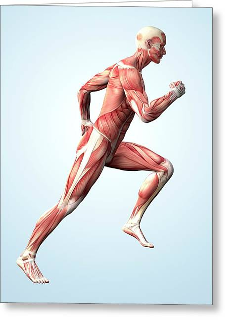 Muscular System Greeting Card by Roger Harris