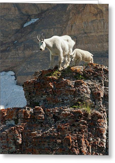 Nanny Mountain Goat And Kid, Oreamnos Greeting Card by Howie Garber