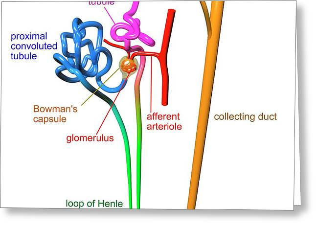 Nephron Structure Greeting Card