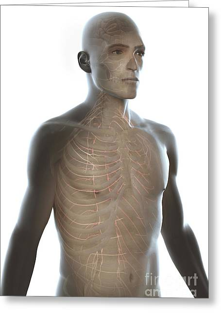 Nerves Of The Upper Body Greeting Card by Science Picture Co
