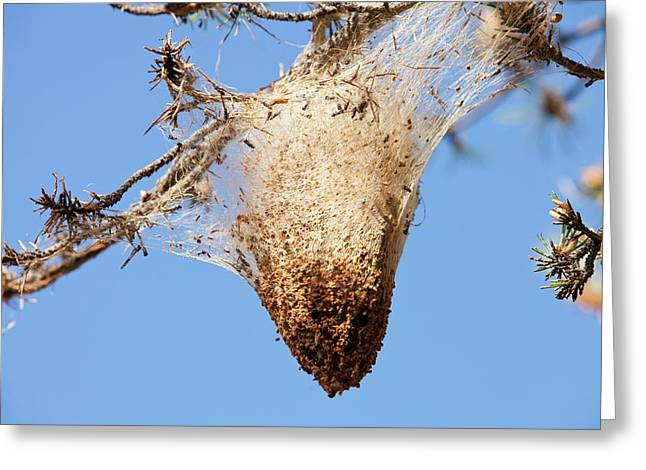 Nests Of Pine Processionary Caterpillar Greeting Card by Ashley Cooper