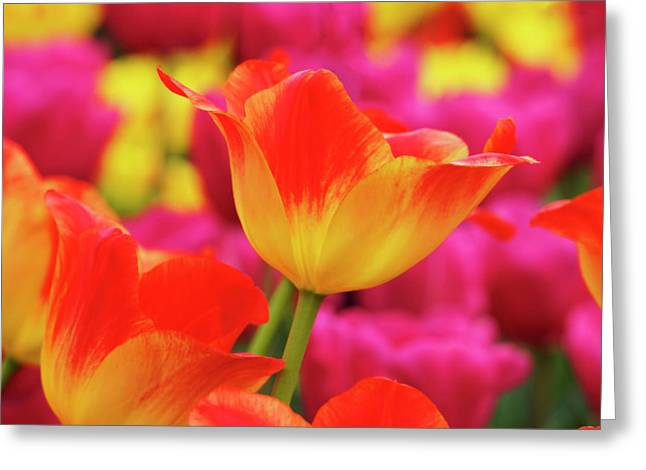 Netherlands, Macro Image Of Colorful Greeting Card