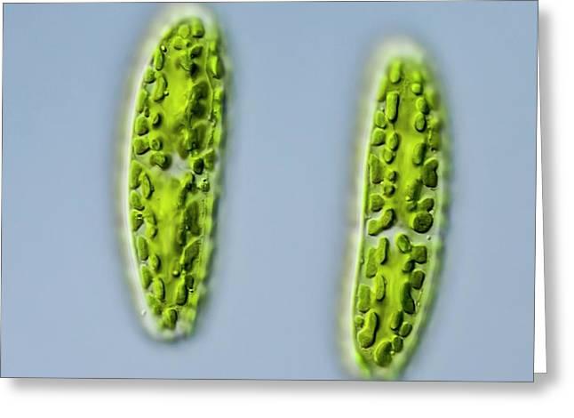 Netrium Oblongum Green Algae Greeting Card by Gerd Guenther