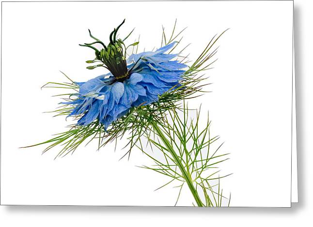 Greeting Card featuring the photograph Nigella Damascena by Paul Gulliver