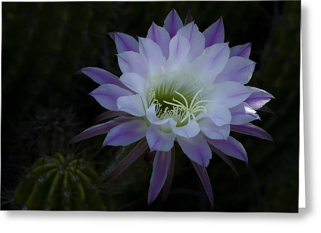 Night Blooming Cactus  Greeting Card by Saija  Lehtonen