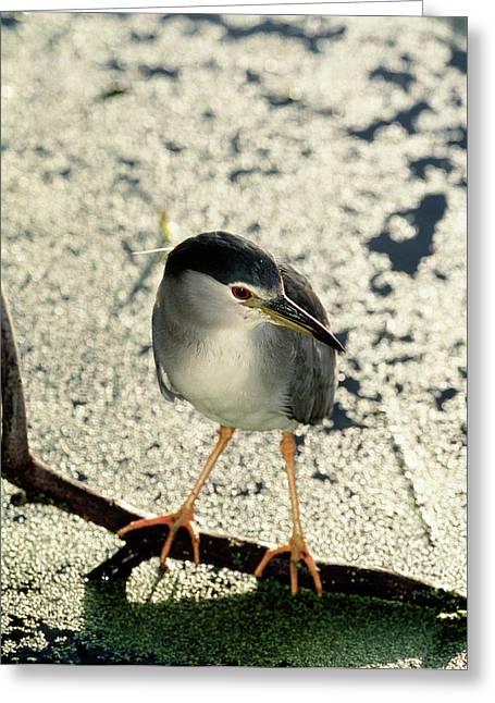 Night Heron Greeting Card by Tony Camacho/science Photo Library