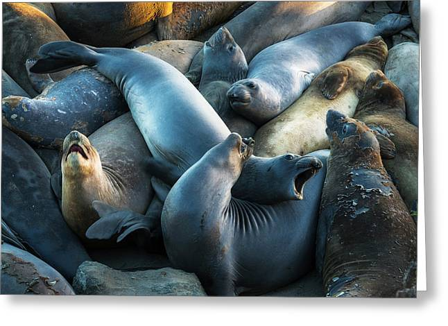 Northern Elephant Seals At Piedras Greeting Card by Russ Bishop