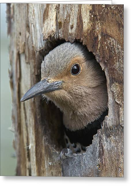 Northern Flicker In Nest Cavity Alaska Greeting Card by Michael Quinton
