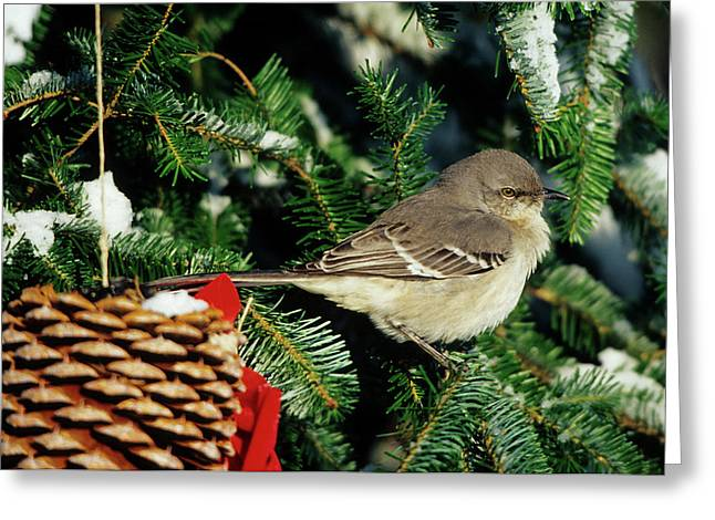 Northern Mockingbird (mimus Polyglottos Greeting Card