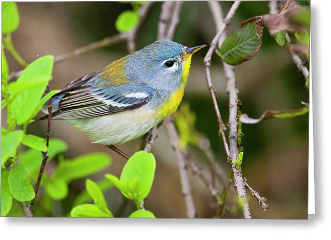 Northern Parula (parula Americana Greeting Card by Larry Ditto