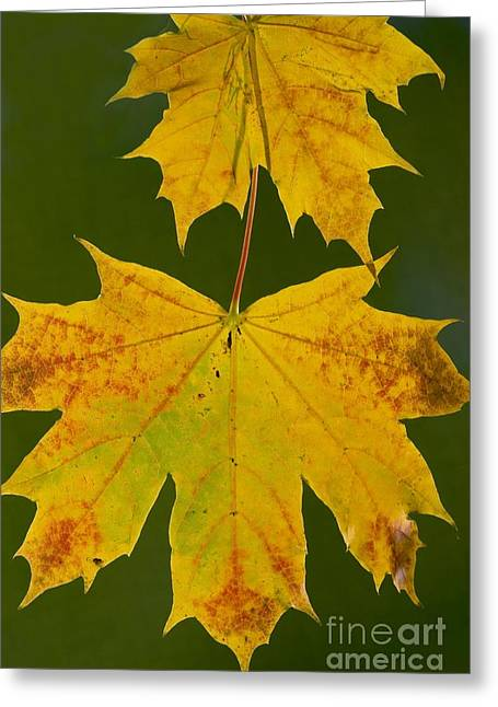 Norway Maple Acer Platanoides Greeting Card
