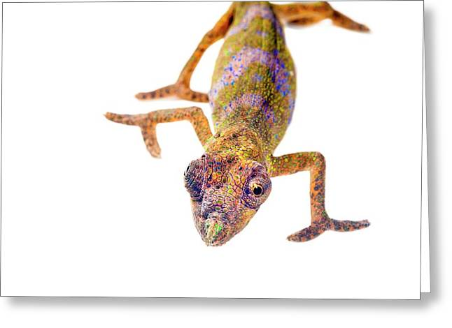 Nose-horned Chameleon Greeting Card