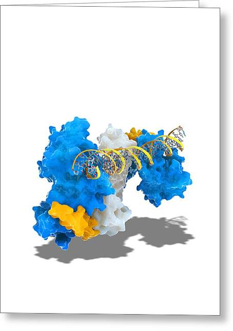 Notch Transcription, Molecular Model Greeting Card by Science Photo Library