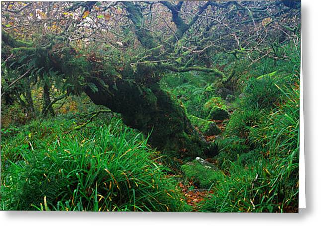 Oak Trees In A Forest, Wistmans Wood Greeting Card by Panoramic Images