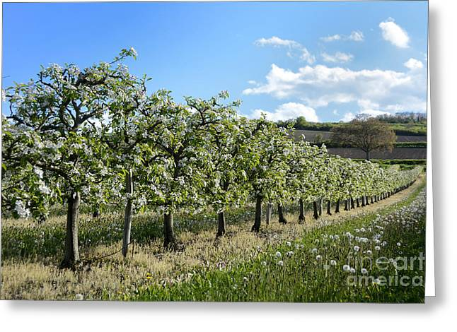 Orchard Blooming Apple Trees. Greeting Card