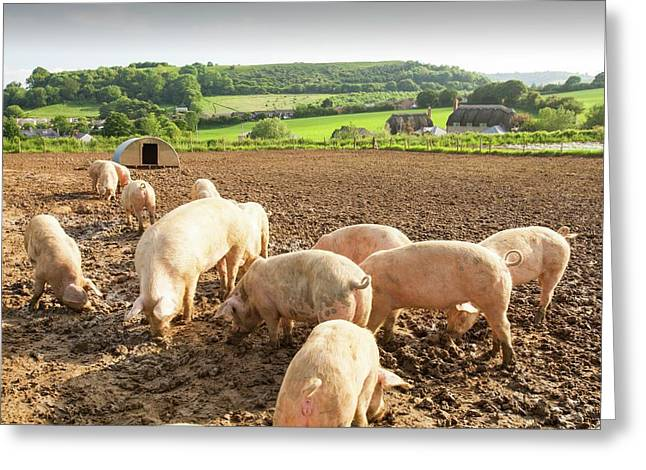 Organic Middle White Pigs Greeting Card