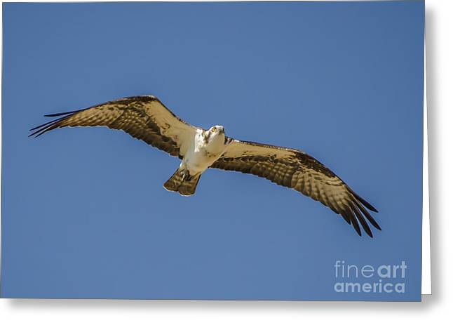 Greeting Card featuring the photograph Osprey In Flight Spreading His Wings by Dale Powell