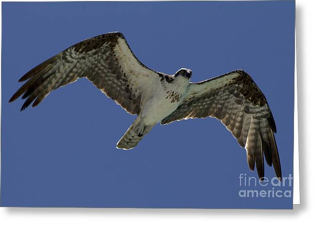 Greeting Card featuring the photograph Osprey In Flight Photo by Meg Rousher