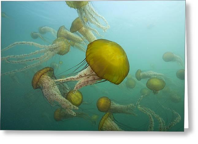 Pacific Sea Nettles Monterey Bay Greeting Card by Richard Herrmann