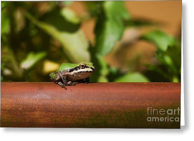 Pacific Treefrog Greeting Card by Ron Sanford