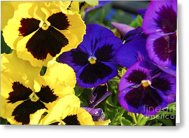 Pansies Greeting Card by Elena Elisseeva