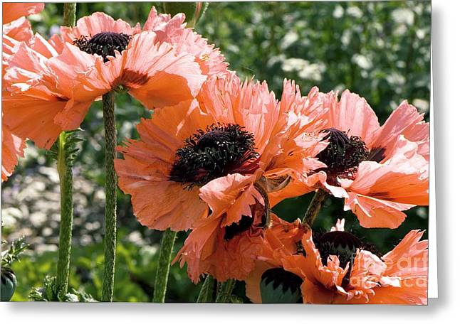 Papaver Orientale Pink Ruffles Greeting Card by Adrian Thomas