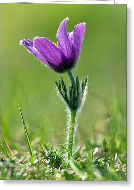 Pasque Flower (pulsatilla Vulgaris) Greeting Card by Bob Gibbons