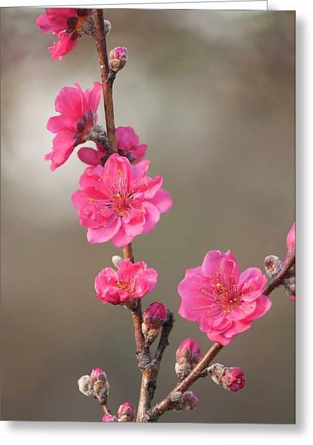Peach (prunus Persica 'red Baron') Greeting Card by Maria Mosolova