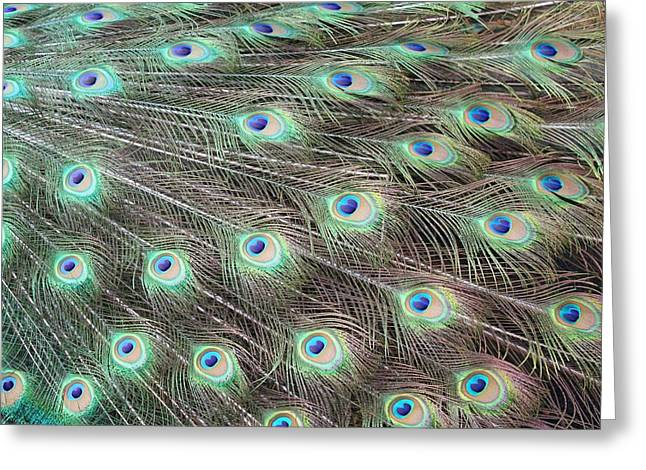 Greeting Card featuring the photograph Peacock Feather Fiesta  by Diane Alexander