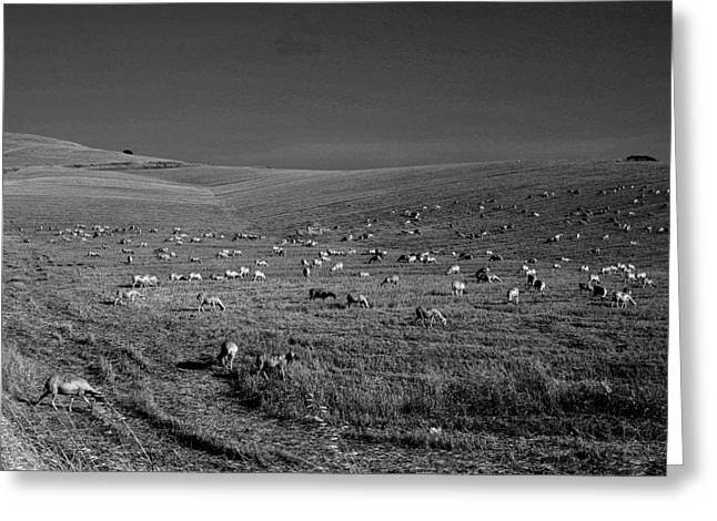 Sheep Grazing In The Countryside Tarquinian Greeting Card