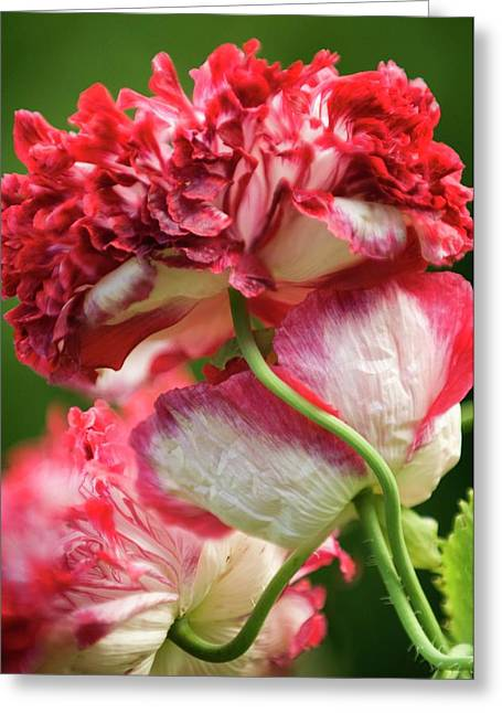 Peony Poppies Greeting Card