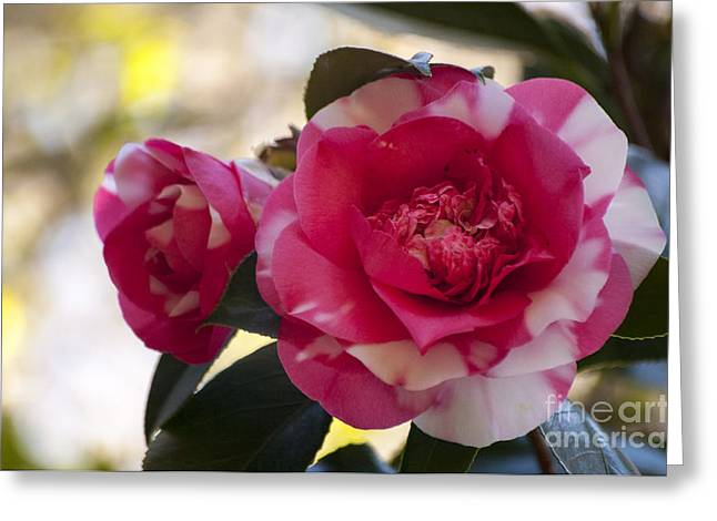 Pink Camellia Blossom Greeting Card by Mandy Judson