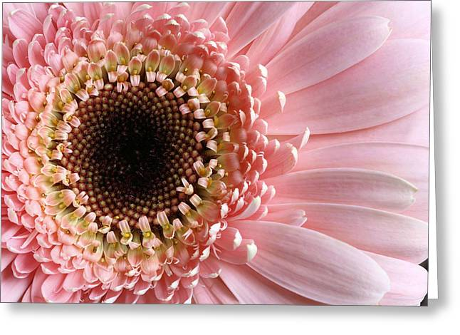 Pink Greeting Card by JC Findley