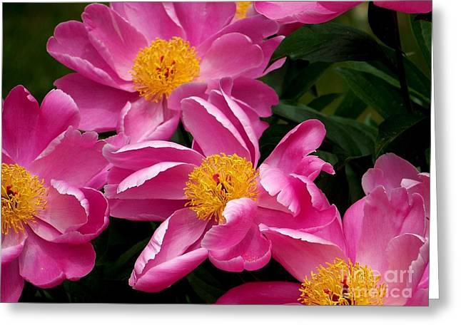 Pink Petals Greeting Card by Eunice Miller
