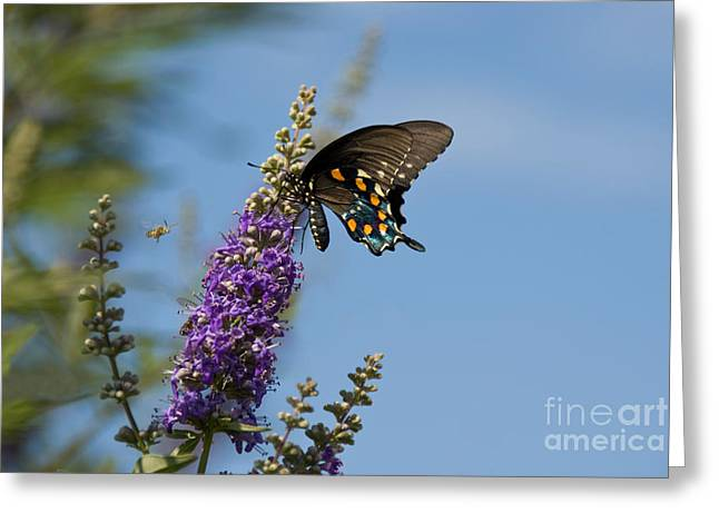 Pipevine Swallowtail Butterfly Greeting Card by Richard and Ellen Thane