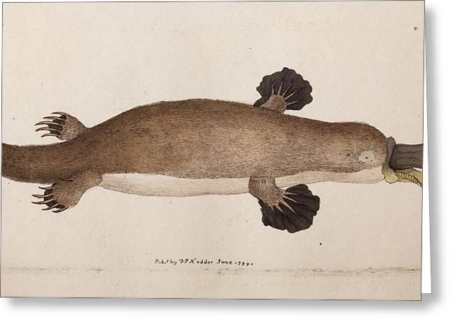Platypus Anatomy (shaw) Greeting Card by Paul D Stewart