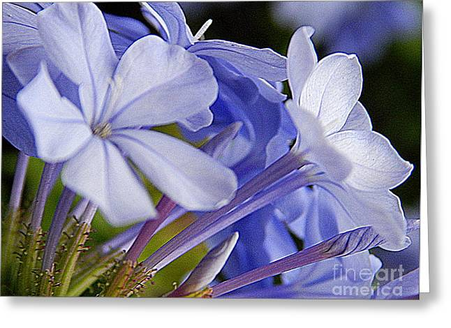 Plumbago Summer Solstice In New Orleans Louisiana Greeting Card by Michael Hoard