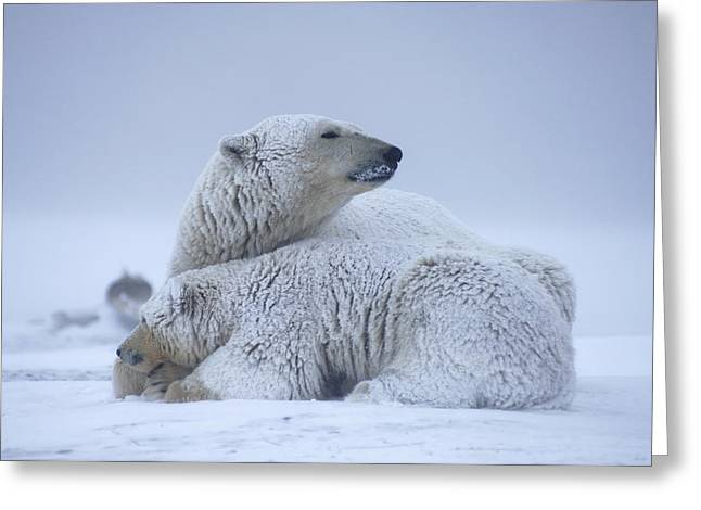Polar Bear Sow With Cub Resting Greeting Card by Steven Kazlowski