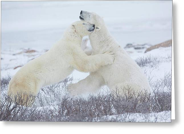 Polar Bears Ursus Maritimus Sparring Greeting Card