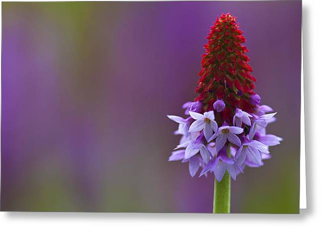 Greeting Card featuring the photograph Primula Vialii  by Zoe Ferrie