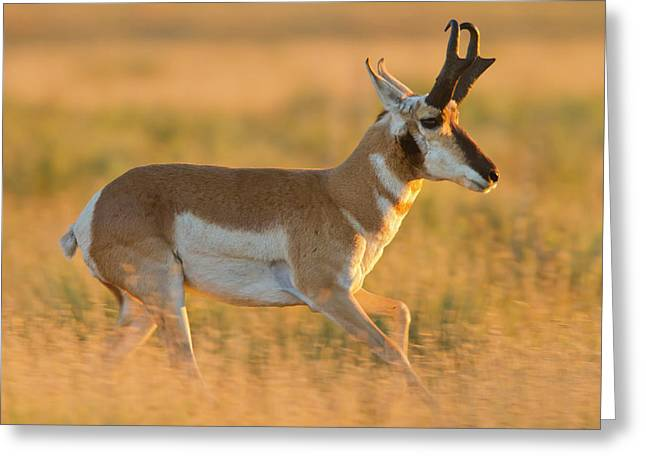 Pronghorn (antilocapra Americana Greeting Card by Larry Ditto