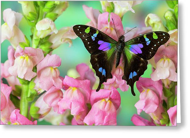 Purple Spotted Swallowtail Butterfly Greeting Card