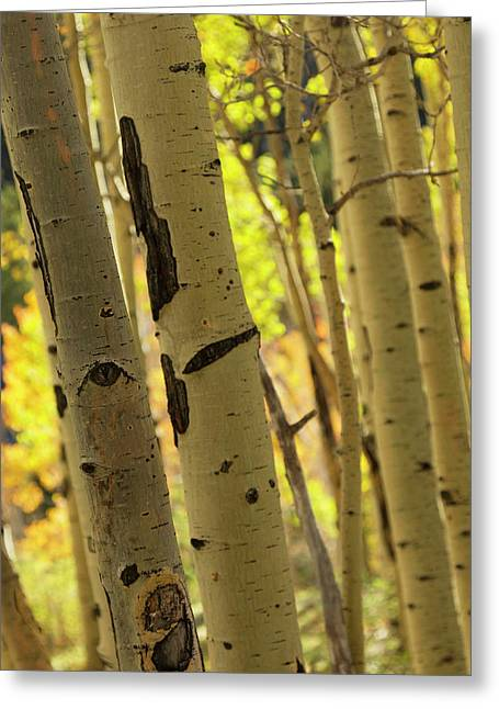 Quaking Aspen In Full Color Showing Greeting Card by Maresa Pryor
