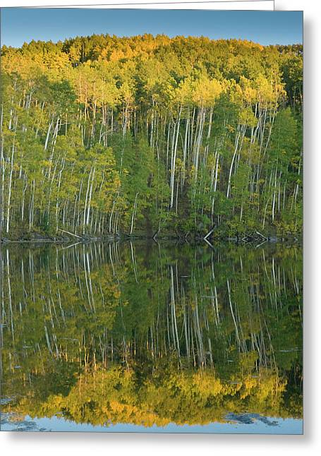 Quaking Aspen (populus Tremuloides Greeting Card by Howie Garber