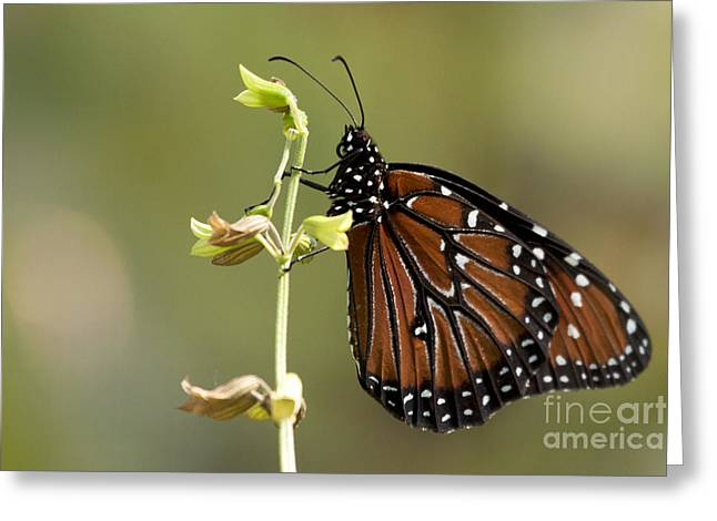 Greeting Card featuring the photograph Queen Butterfly by Meg Rousher