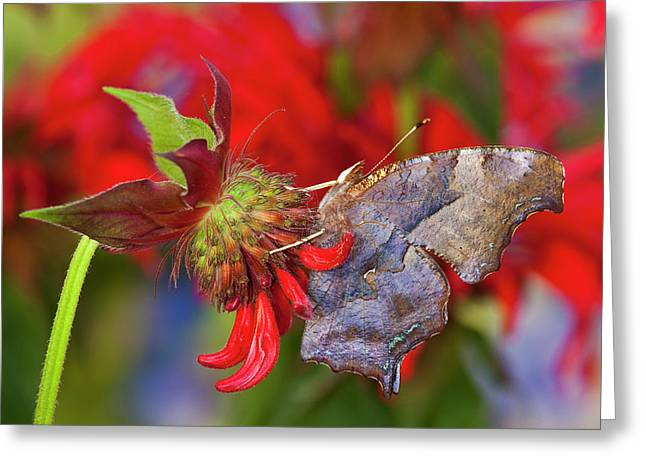 Question Mark Butterfly, Polygonia Greeting Card