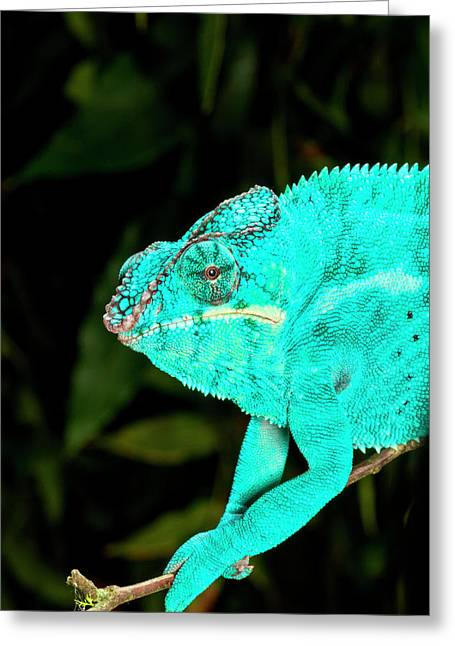 Rainbow Panther Chameleon, Fucifer Greeting Card