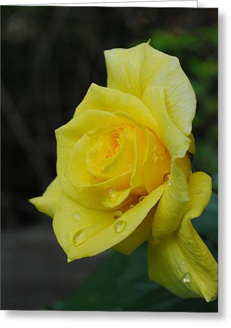 Raindrops On Roses Greeting Card by Robert  Moss